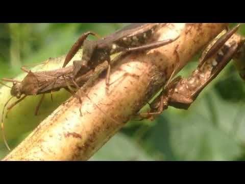 Nature Video, 自然 映像, しぜん どうが, приро́да изображе́ние, 자연 영상: [KakaoTV 벅스라이프]The Bean Bugs suck juice that is sprinkled in the peel of soy bean juice. 톱다리개미허리노린재, Bean Bug, 點蜂緣蝽, ホソヘリカメムシ, Riptortus clavatus, stink bug, 椿象, カメムシ, pentatomes, chinches hediondas, Вонь ошибок, 콩 껍질, 콩 열매, 침 꽂아 흡즙, soy bean, suck juice, sprinkle