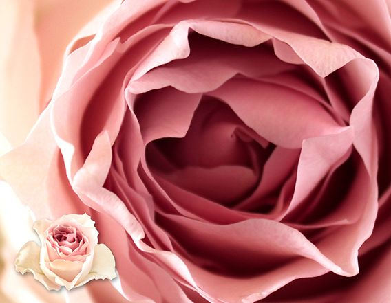 one of our new favourites ... REMEMBERANCE #pink #roses #palepink