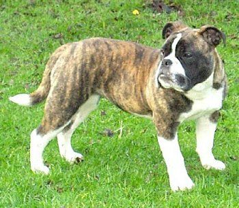 Victorian Bulldog...this is what the bulldog is supposed to look like. I love this breed and would love to own one. Too bad they only breed them in Great Britain.