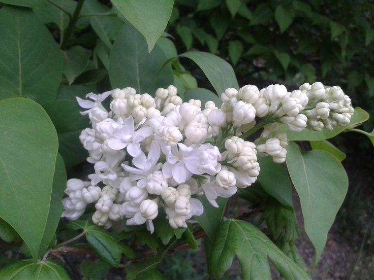 Megéri, hogy helyet szenteljünk az orgonának kertünkben, mert gondozása könnyű, metszéssel jól alakítható és virágainak illata nélkül a tavasz nem az igazi. Kevésbé mutatós virágú fajtáiból nyírott sövény nevelhető, részük megkötésére is kiváló. http://kertlap.hu/kerti-orgona/