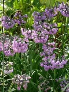 Michigan Native: Nodding Wild Onion(Allium Cernuum).