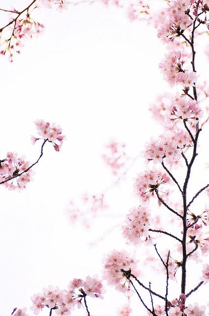 さくら / Sakura