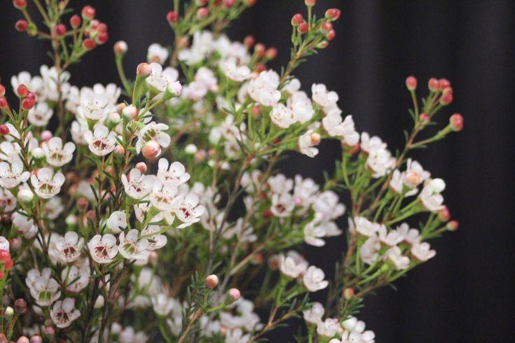 Lieblingspflanze im Dezember - Wachsblume