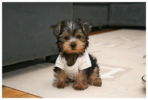 Awww.... I want one!: Little Puppies, Yorkie, Small Dogs, Cutest Dogs, So Cute, Pet, T Shirts, Yorkshire Terriers, Little Dogs