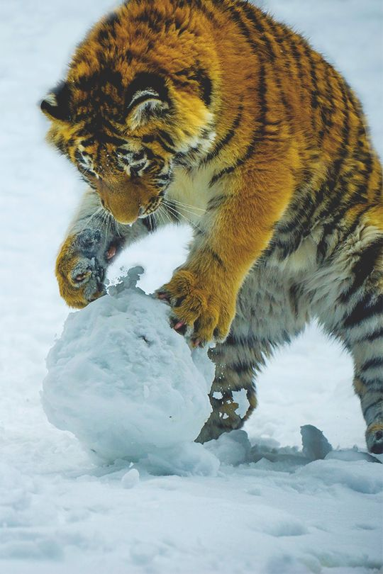 All cats seem to love to play with a ball, but it is strange sight to see this jungle cat in the SNOW!