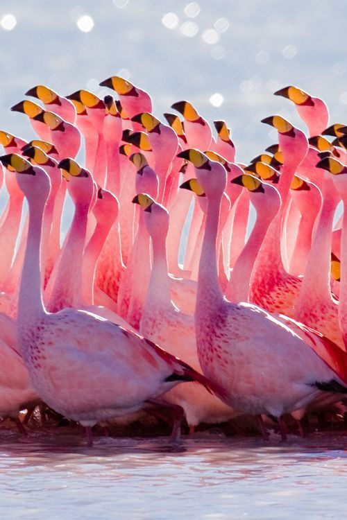 Flamingo Mating Dance. Click through to watch the dance on video. Very cool.