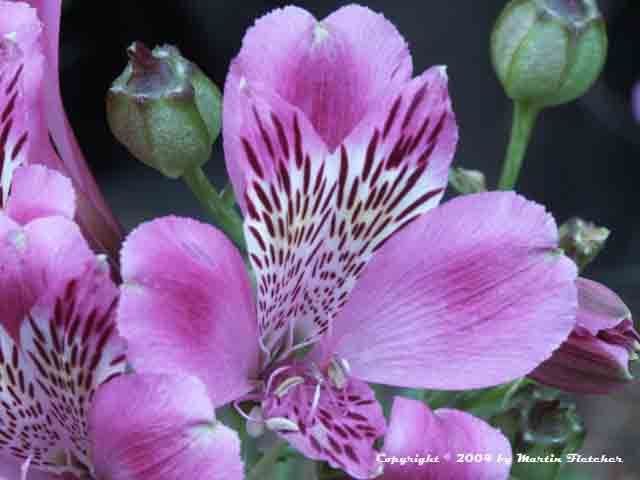 alstroemeria coloring pages - photo#32