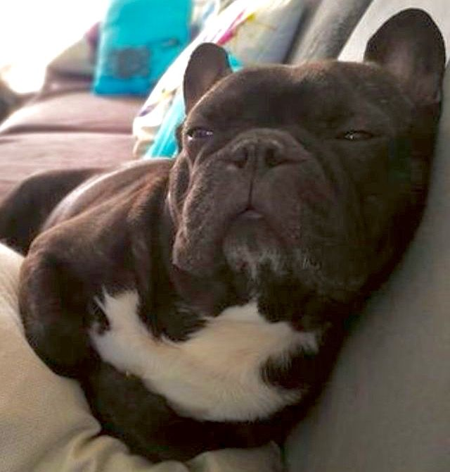 When You Re Owning The Sofa Like A Boss French Bulldog Dog