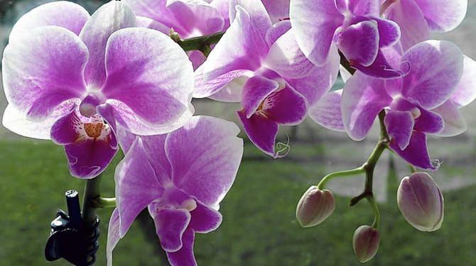 Orchidea čitateľky Heleny krásne kvitne, a tak ju zapojila do súťaže