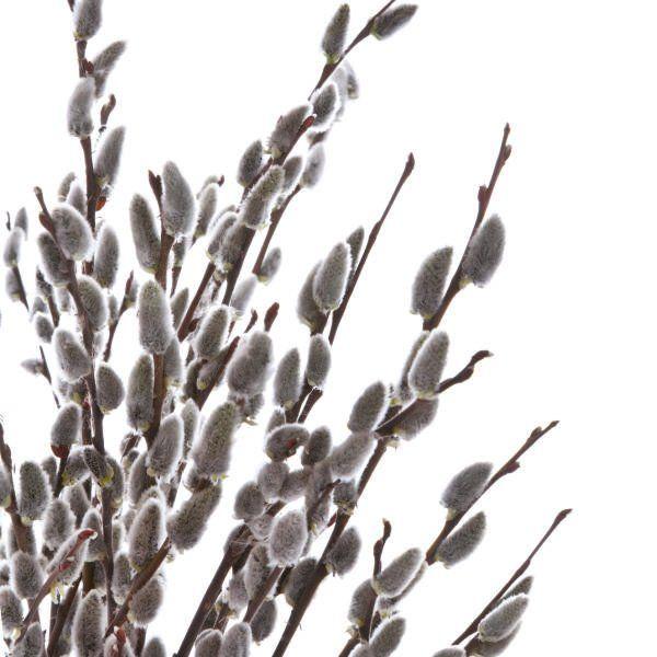 Wierzba - Salix 'Kurome'