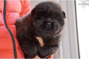black chow chow puppies for sale
