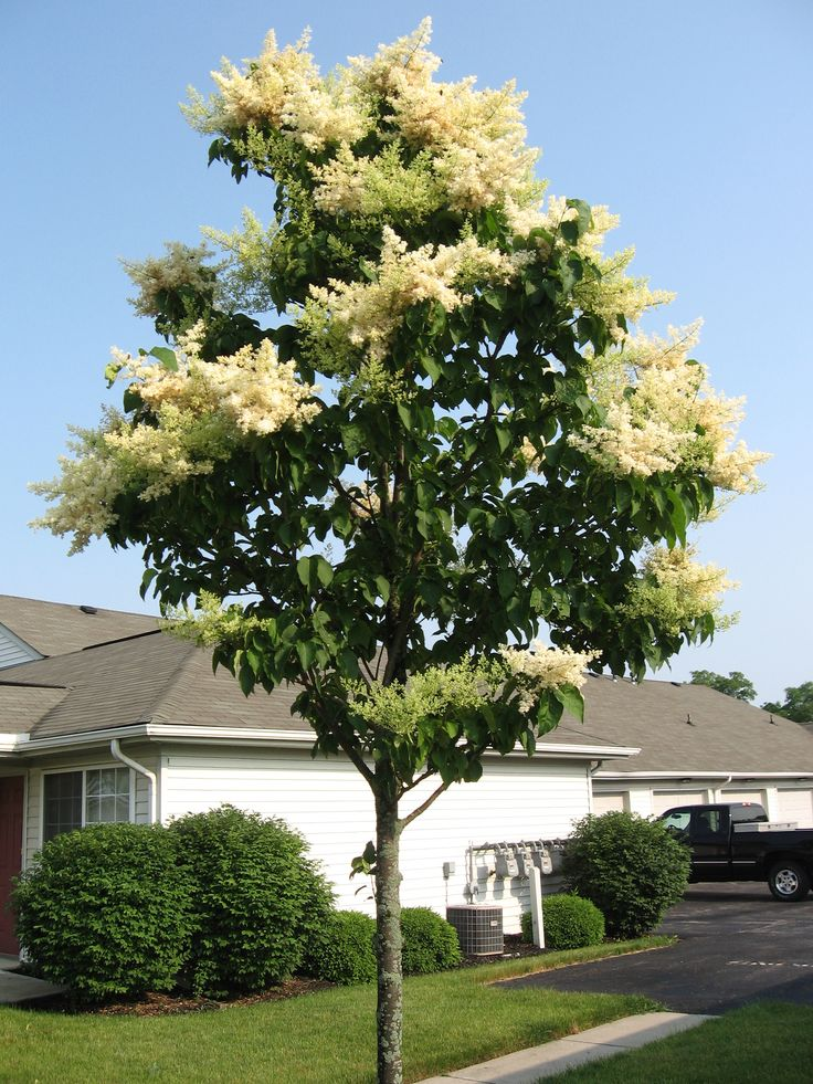 Best 20 japanese lilac tree ideas on pinterest dwarf for Small japanese tree
