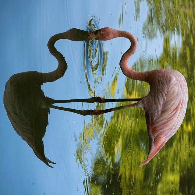 Parallel . #nature #parallel #flamingo #dual #nature #naturephotography #animal #animalphotography #photography #photooftheday #animalovers #birds #pink #wildlife