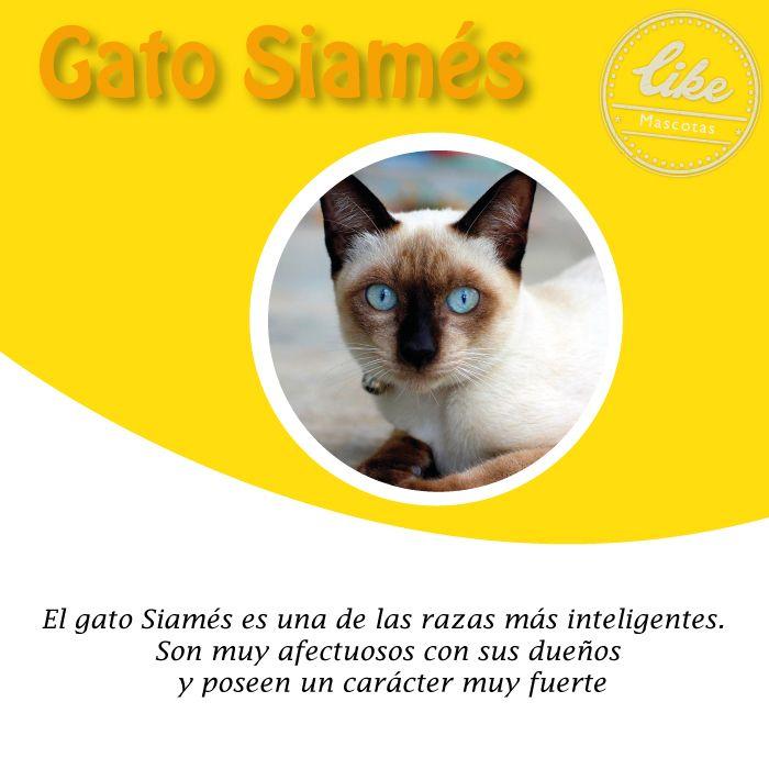 Si quieres un amante a los juegos el gato siamés es la mejor opción