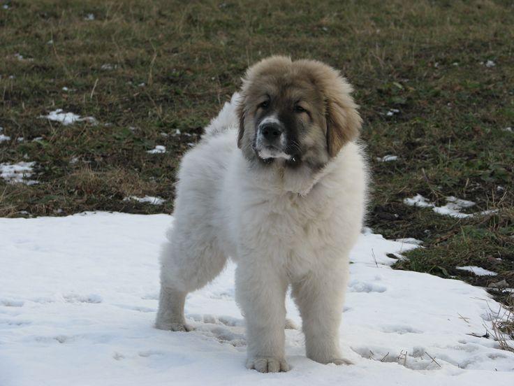 3-month-old Caucasian Shepherd Dog