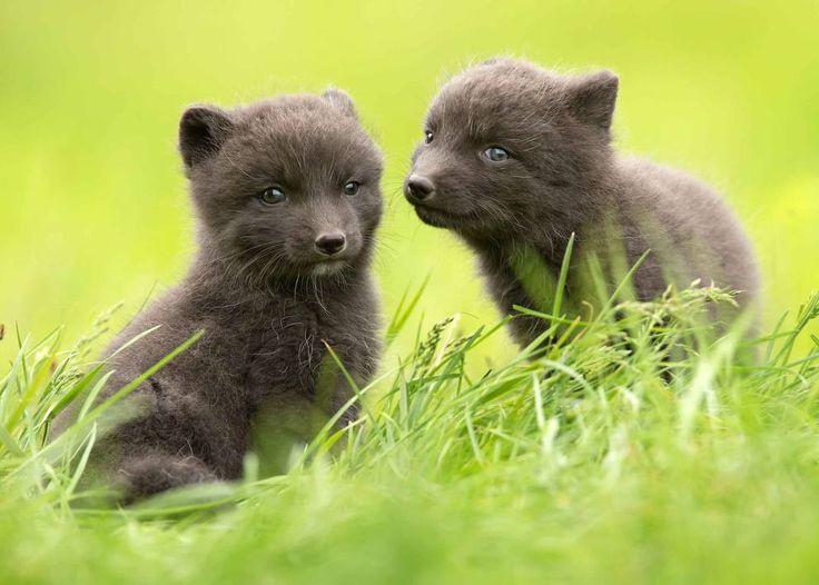 Cuccioli di volpe artica