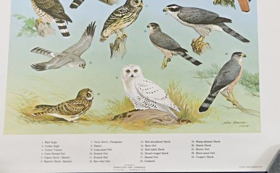 Ned Smith Birds Of Prey Poster Pa Gam Ned Smith Birds Of Prey Poster Pa Game Commission Classroom Chart Vintage Reprint In 2020 Prey Birds Of Prey Birds