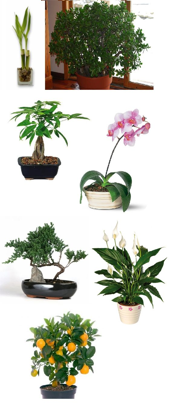 Lucky+Plants+and+Bonsai+Trees+for+Your+Home+and+Business