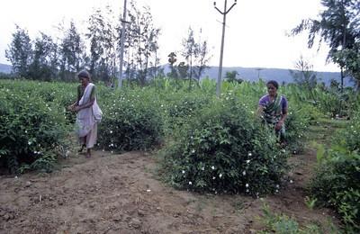 Harvesting Jasmine