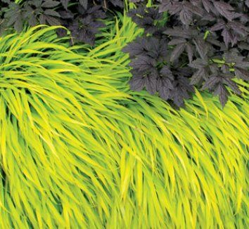 13 best images about flora on pinterest parks for Japanese ornamental grass varieties