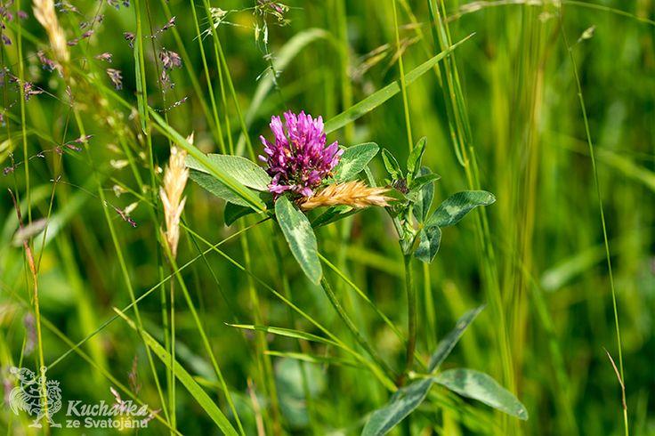U jetele lučního sbíráme samotné květy po celé léto. Působí především jako prostředek proti průjmu, kašli, při horečkách, zápalu plic, dně a...