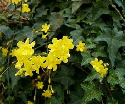 Le #jasmin d'#hiver ou Jasminum nudiflorum #fleurs #jaune