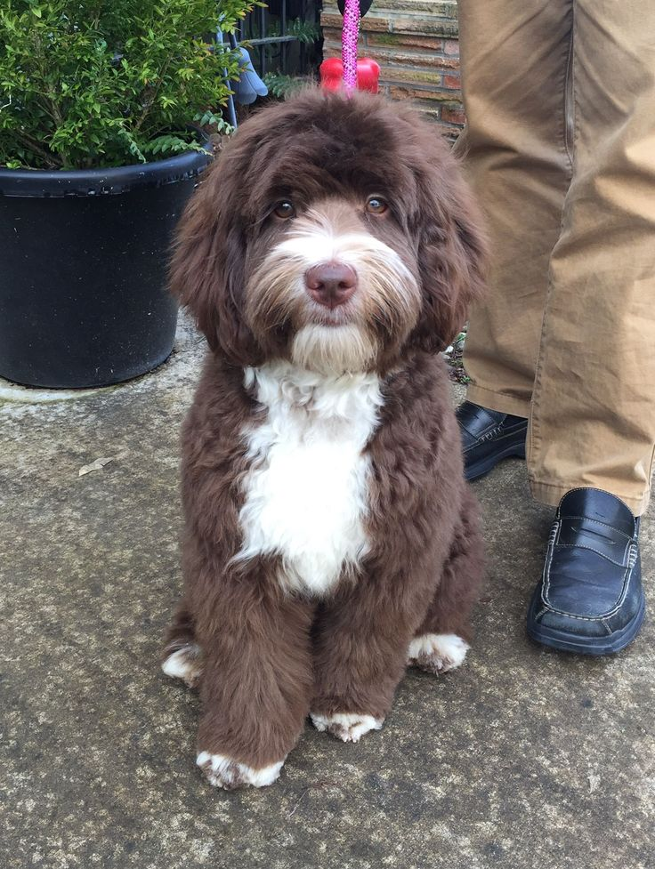 Chocolate and white Labradoodle