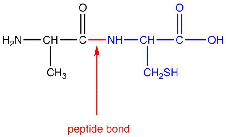 Peptide Bond | OChemPal