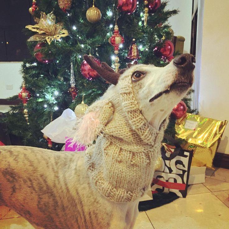 """""""El Galgo les desea a todos una muy Feliz Navidad!  #PerroFeliz #chachayelgalgo  #navidad #navidadmascota #navidadperruna #amomiperro #navidadde4patas…"""""""