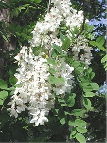 Robinia pseudoacacia (Black Locust). Curiously poisonous. Bark and leaves are toxic (especially to horses), but the toxins from the black seed pods decompose with heat. The tree is also a major source of monofloral honey in the U.S.