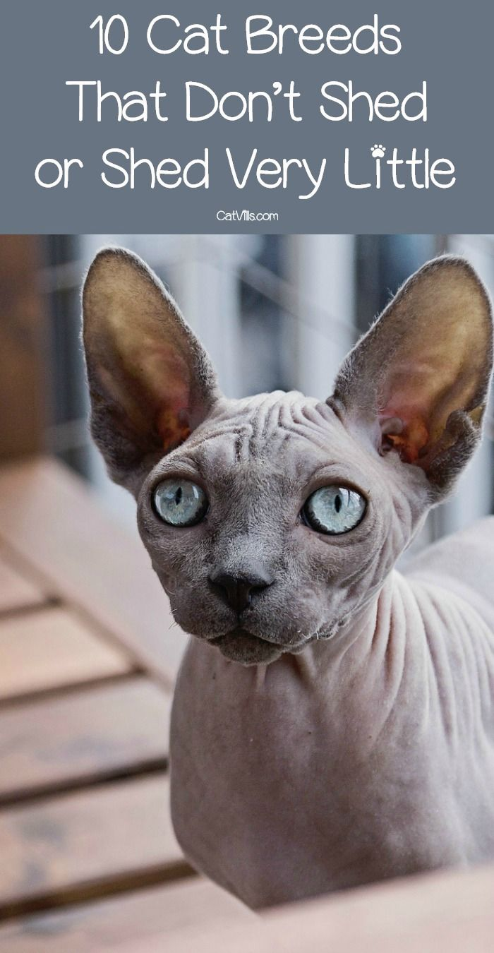 Are there any cat breeds that don't shed? While hairless cats are the only completely non-shedding kitties, these 10 breeds shed very little. Check them out!