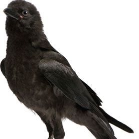 New findings on crows' intelligence lend perspective on how social smarts evolve