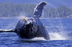 Whale Watching at Jamie's Whaling Station. #YouWontBeSorry #Tofino www.youwontbesorry.com