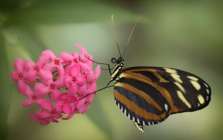 Tiger Longwing Butterfly: Photos, Butterflies, Longwing Nestled, Tigers, Flower, Longwinged Tiger