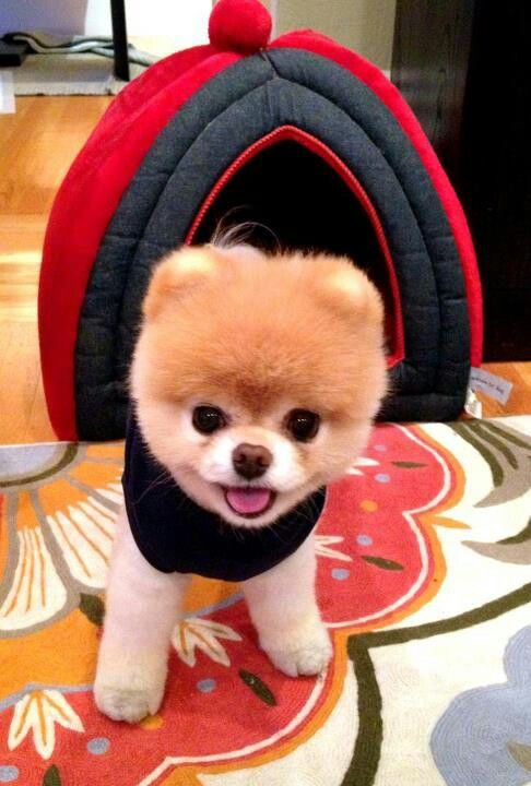 Boo is the cutest dog in the world!!!!!   it won the contest , so cool and cute!!!!!!
