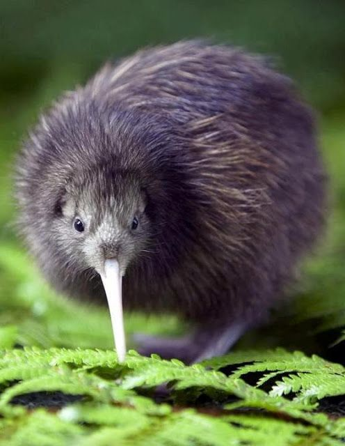 I love these birds!!! ----Kiwi are flightless birds endemic to New Zealand, in the genus Apteryx and family Apterygidae. At around the size of a domestic chicken, kiwi are by far the smallest living ratites and lay the largest egg in relation to their body size of any species of bird .