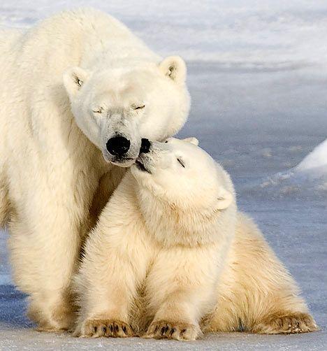 Kool Kisses :-) wildlife polarbear nature