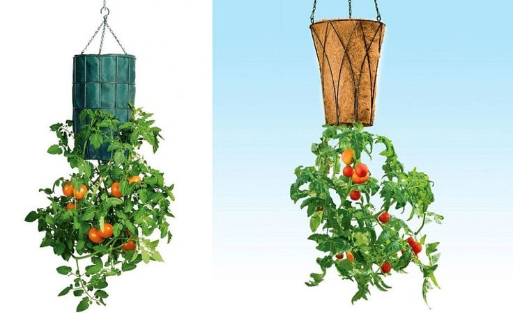 Cultivarea legumelor cu capul in jos