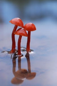 Reflections by Bobby Birch - Three toadstools in a shallow pond Click on the image to enlarge.