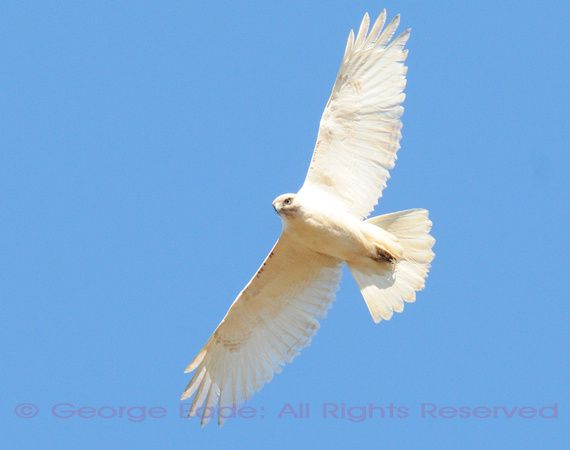 Red-tailed Hawk (White-morph!) (3/22/14; Driving between ...