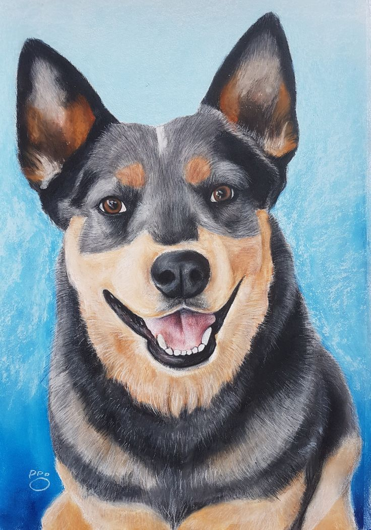 Blue Heeler pastels on paper