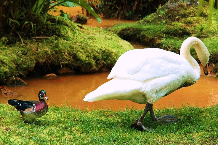 The swan and the duck at Terra Nostra Park, Sao Miguel - Azores.com