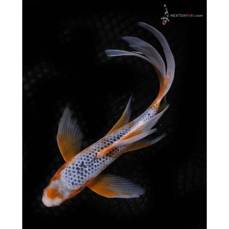 153 best images about art koi on pinterest japanese for Butterfly koi for sale