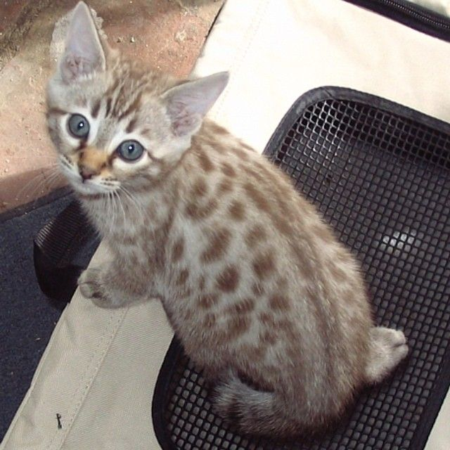 Who has a Siamese girl & wants to make these babiessss