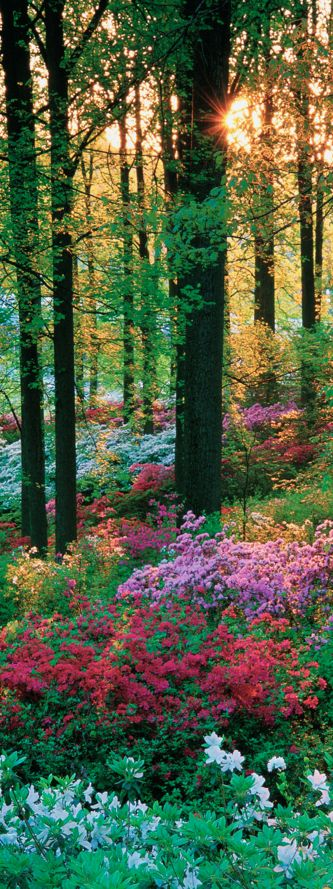 Azaleas!!!! Mystical flower forest • photo: Europosters