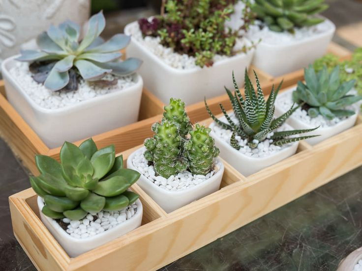 How to Avoid Killing Your Indoor Succulents: One of the quickest ways to kill indoor succulents is to water them incorrectly. Succulents use their thick, fleshy leaves to store water...