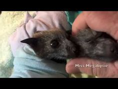 A lapful of bat babies - YouTube