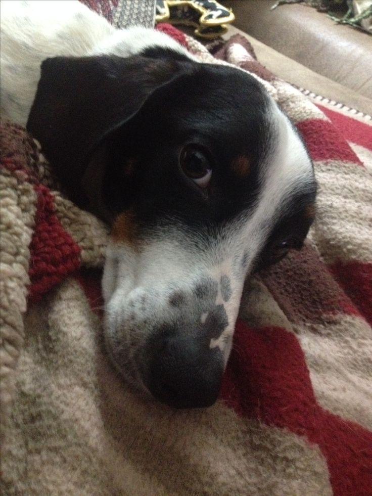 Our sweet little piebald boy, Beans. He is such a cuddle bug.
