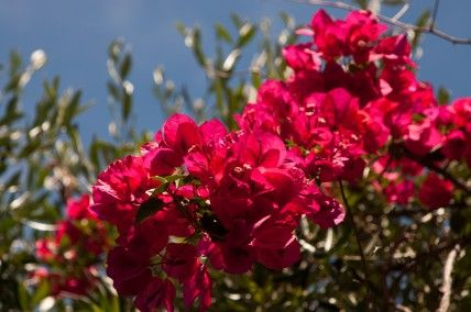 THE BOUGAINVILLEA THAT BECAME A BONSAI