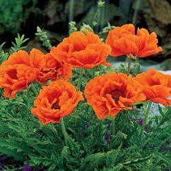 Prince of Orange Oriental Poppies - with False Indigo